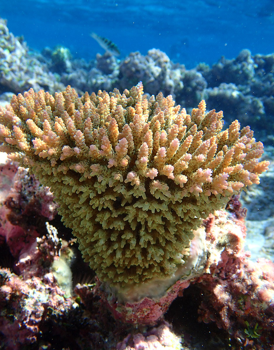 Acropora coral on the reef at South West Herald Cay