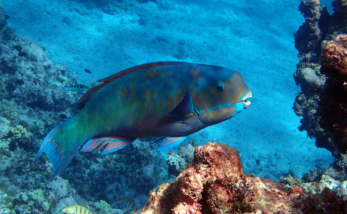 The 'beak' on this parrotfish is really useful for chewing up coral