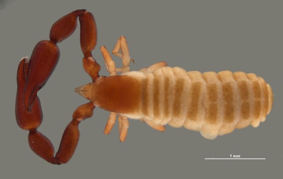 A putative species of Pseudoscorpion (genus  Stenatemnus ) from the Wongalara Bush Blitz, C.A. Car © Copyright, WA Museum