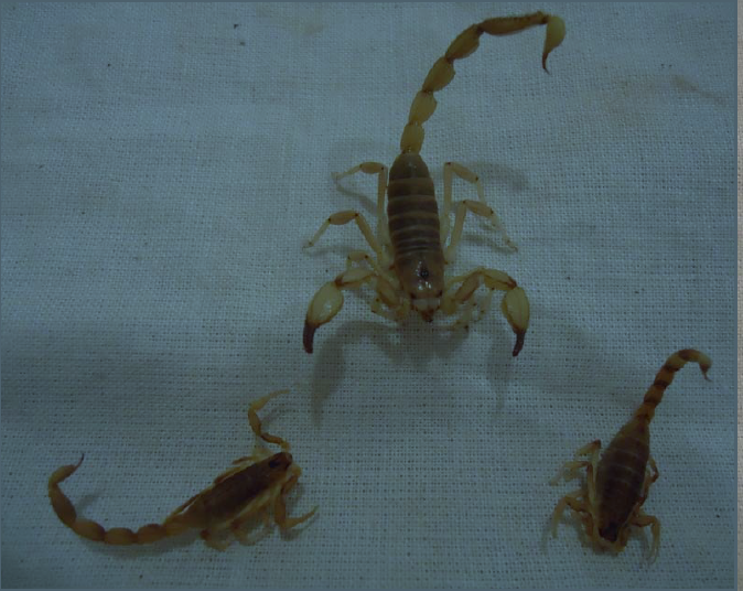 The two smaller scorpions shown here belong to a new Lychas species discovered on the Cane River Bush Blitz. © J. Waldock 2011