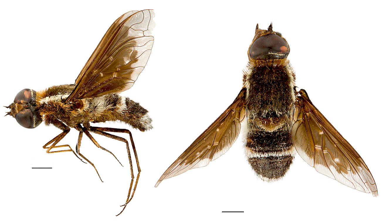 This new species of Bee-fly, discovered on the Charles Darwin Reserve survey, was named Larrpana bushblitzi in honour of Bush Blitz, G. Thompson © Queensland Museum