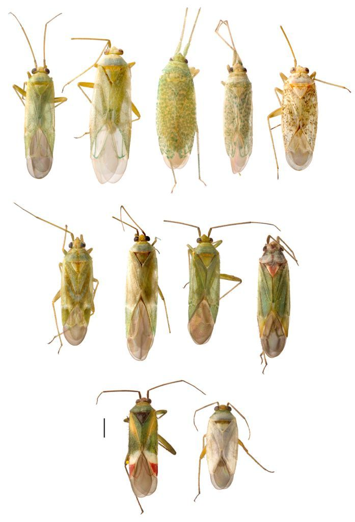 Some of the 92 new species of True Bug (Heteroptera) discovered on the Credo Bush Blitz © Copyright, University of New South Wales