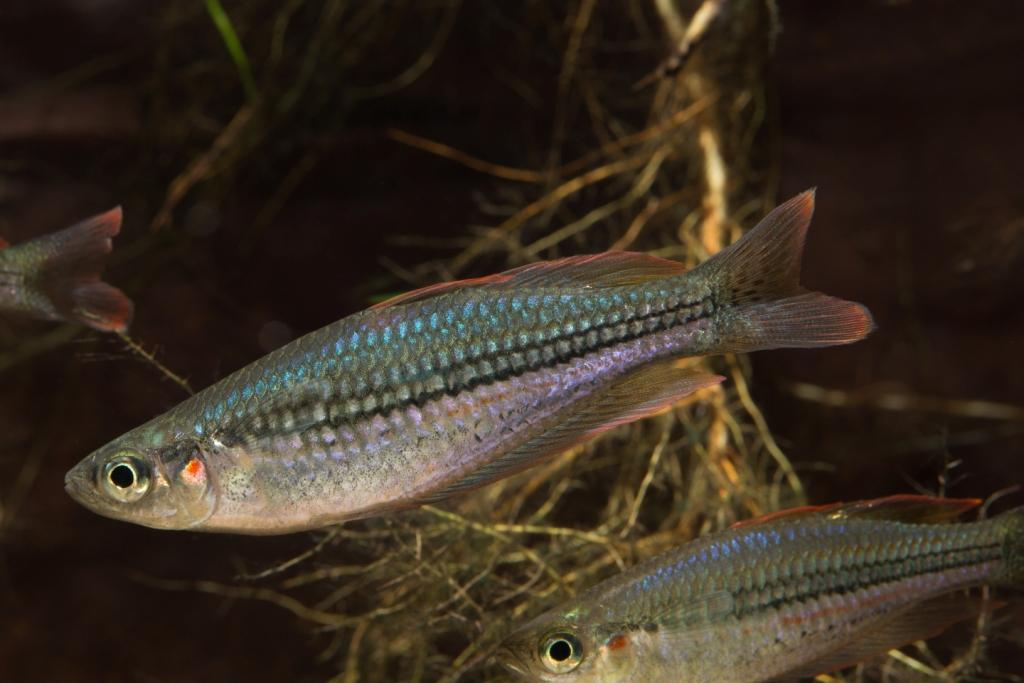 A putative new species of Rainbowfish (Melanotaenia) discovered on the East Kimberley Bush Blitz and known only from a single creek system. © Copyright, Nathan Litjens.