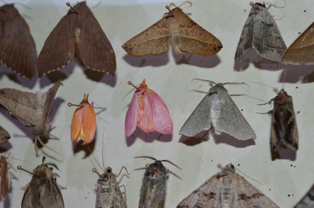 Moths collected on the Oxley Wild Rivers survey, 2015