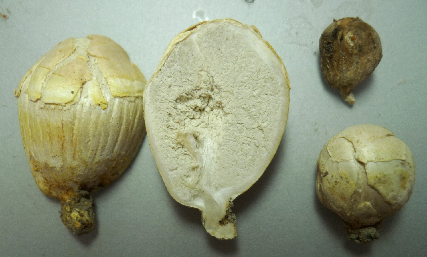 A new fungus from the Neds Corner Bush Blitz. This truffle-like species was named Agaricus colpeteus in honour of property managers Colleen and Peter Barnes, © Royal Botanic Gardens Victoria