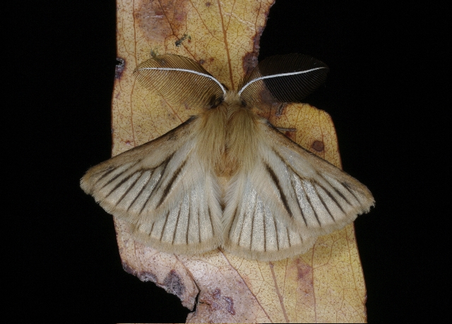 A new moth in the genus Pterolocera discovered on the Lake Condah Bush Blitz. Because females are flightless and grass-feeding, species in this genus are generally confined to small areas © M. Hewish