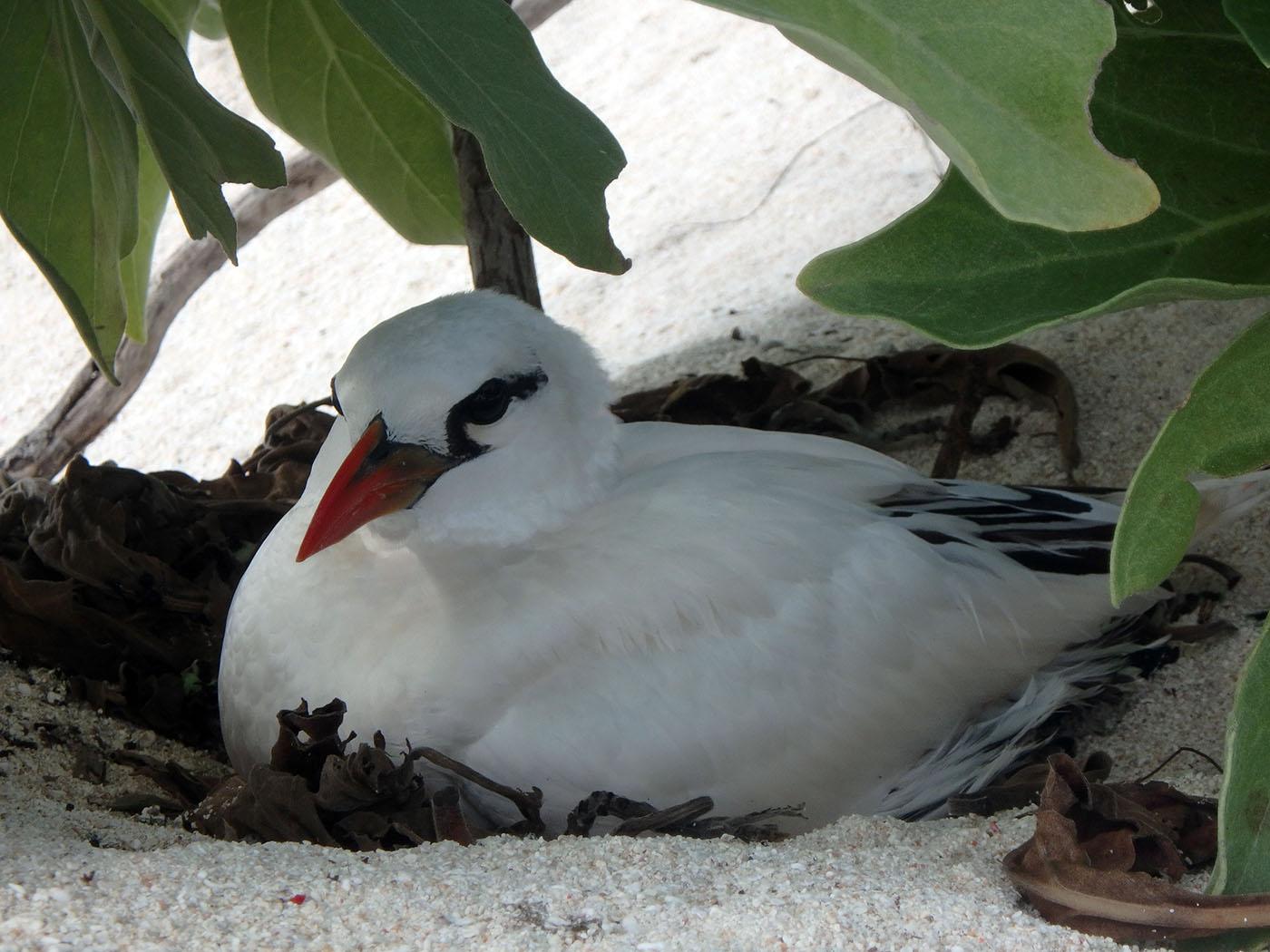 Tropic-bird