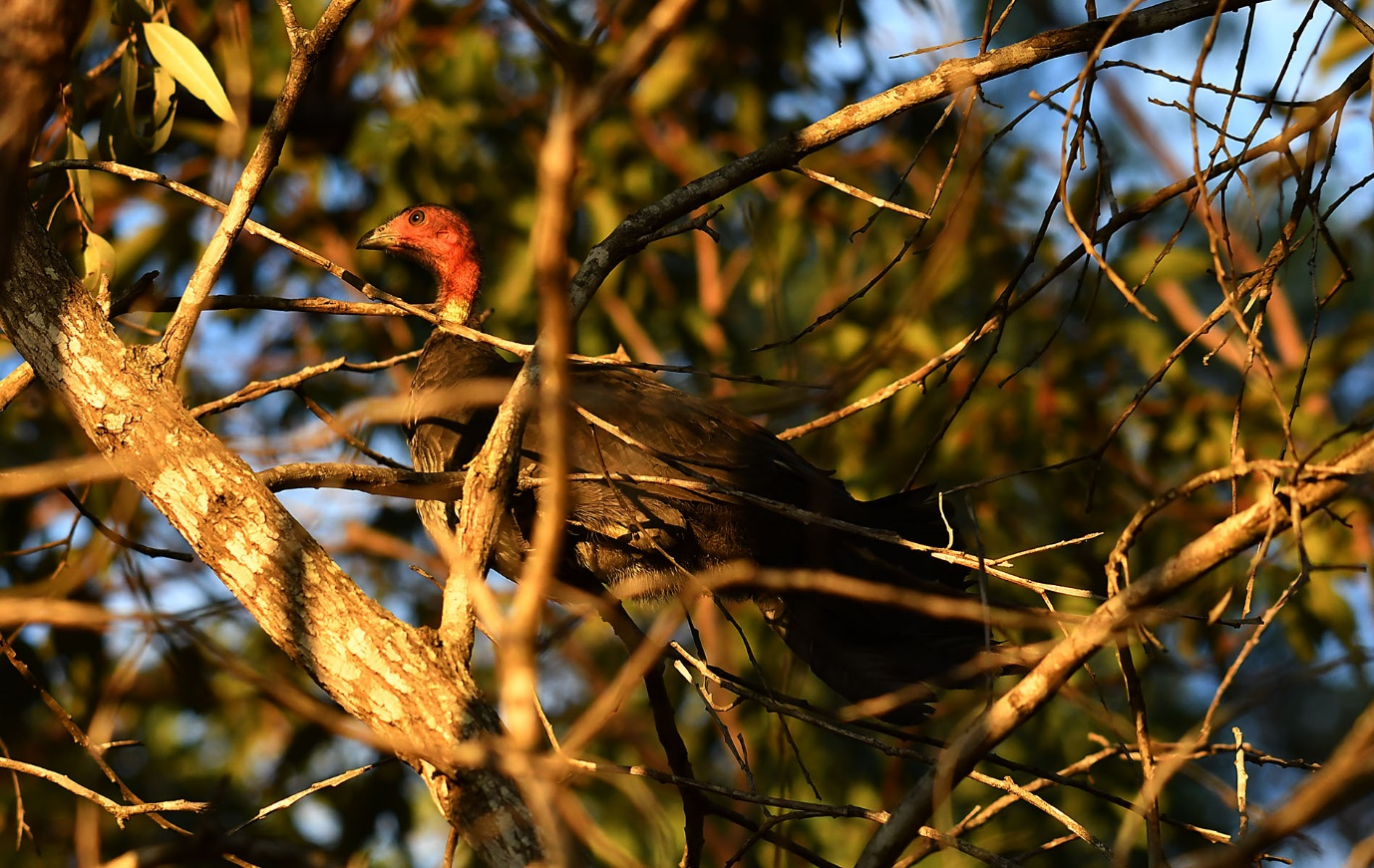 Brush turkey – usually found on the ground, not in a tree!