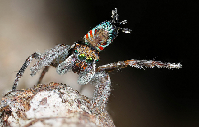 Dancing peacock spider doing mating display - Maratus Ottoi - credit Michael Duncan