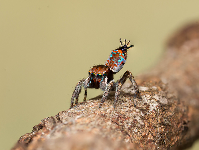 Peacock spider doing mating display-maratus eliasi- credit Michael Duncan