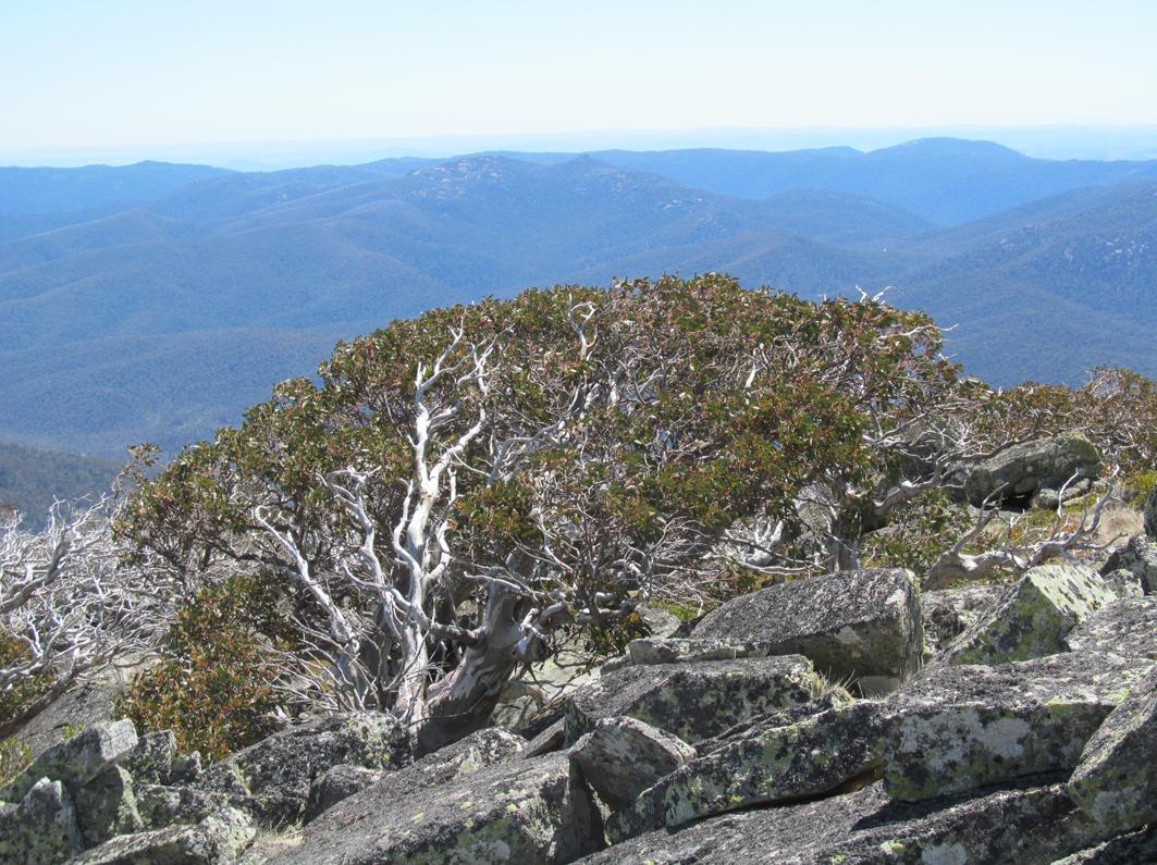 Snowgums (Eucalyptus pauciflora) on the summit of Mt Bimberi, ACT.