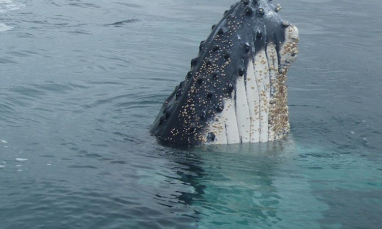 Humpback whale copyright C.Haywood