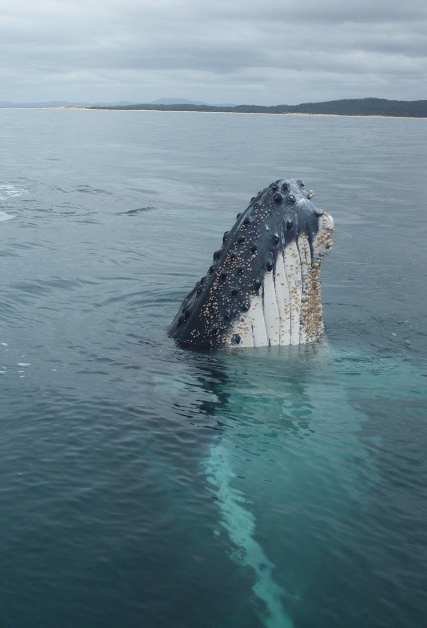 Humpback whale copyright C.Haywood