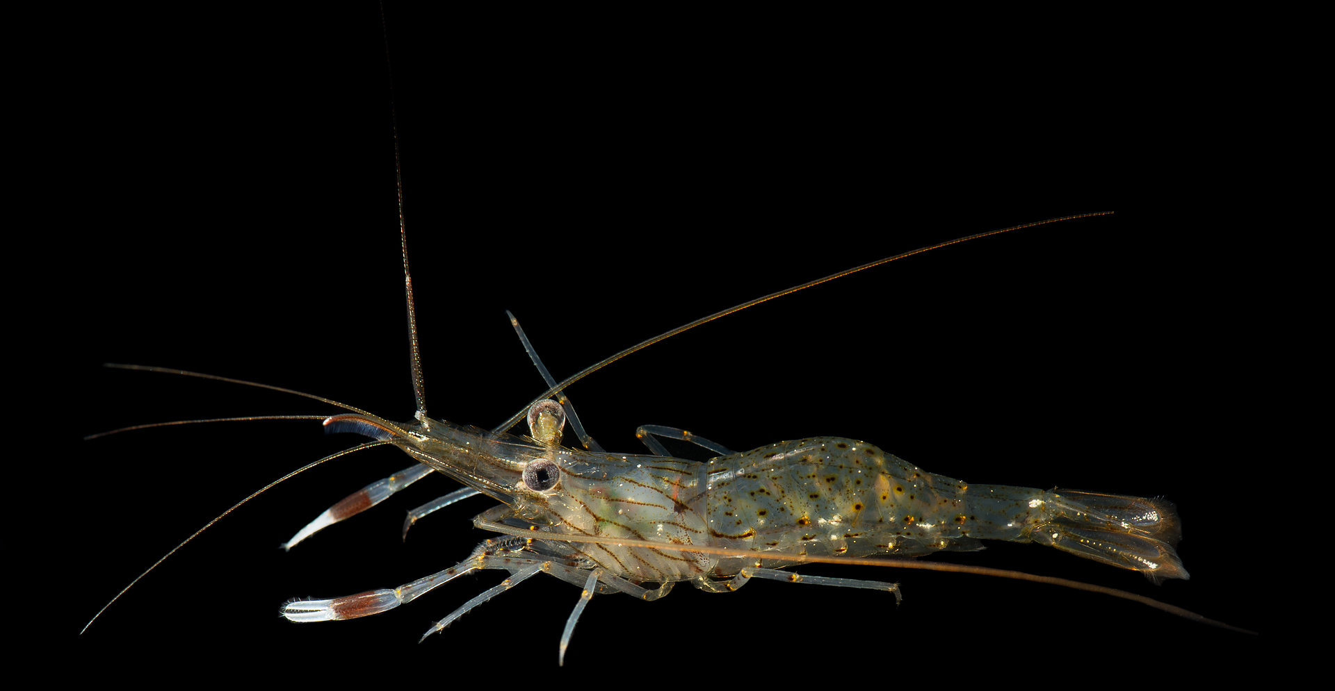 Palaemon serenus, Rock-pool shrimp, Mallacoota Bush Blitz