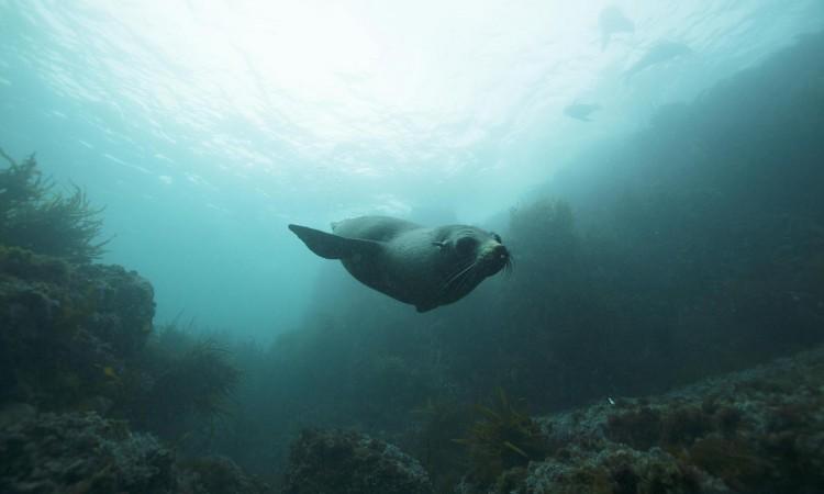 Seal near Gabo Island copyright M. Norman