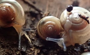 Tiny glass snails making a run for it (image credit S. Nally)