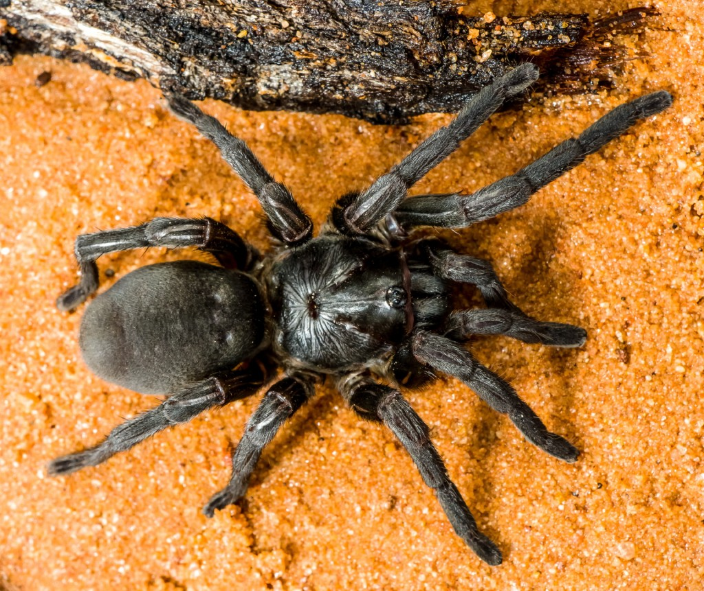 New species of funnel web - Mygalomorphae Barychelidae Idiomata sp.