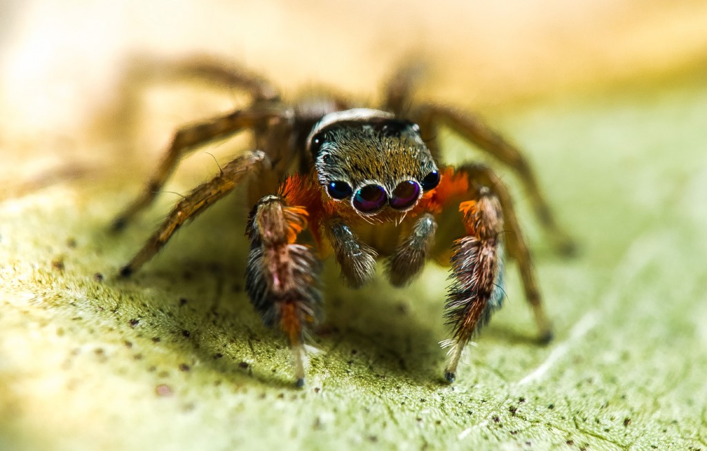 New Species, of jumping spider discovered on Quinkan Bush Blitz by Robert Whyte