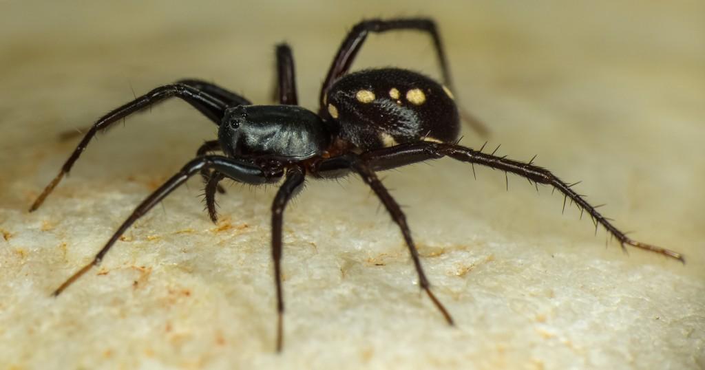Ant eating spider - Zodariidae Habronestes