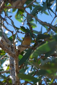 A juvenile Gouldian finch, listed as endangered under the EPBC Act. Image: Jared Archibald, MAGNT.