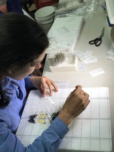 Eloise Wigger pinning butterfly specimens in the base camp lab.