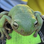 This green tree frog hopped away when released from the trap.