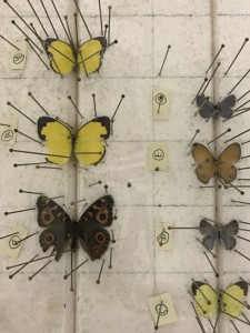 Butterfly specimens being prepared for preservation and transport.