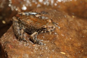 Rockhole Frog (Litoria meiriana). Image: Stephen Mahony, Australian Museum.