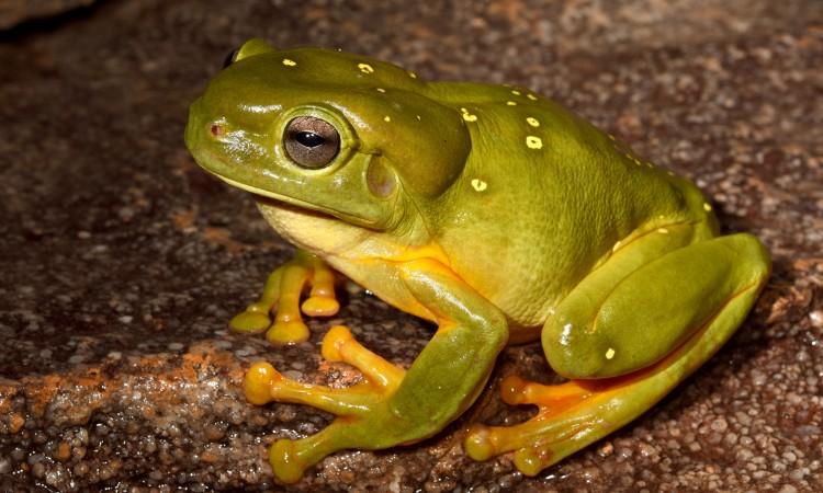 Splendid Tree Frog (Litoria splendida). Image: Jodi Rowley, Australian Museum.