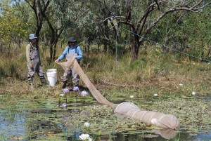 Scientists and teachers worked together to set fyke nets on the Angalarri River floodplain. Photo J. Archibald (MAGNT)