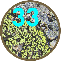 33 new lichen species