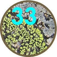 33 new lichen species