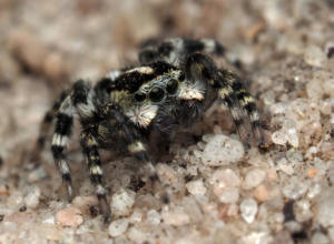 New genus new species (jumping spider humbug)