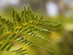 Bracken fern frond above liverwort meadow, photo Bruce Paton © Earthwatch Australia
