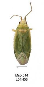 Orthotylus n. sp. BBCHT14_Msp.014 © UNSW