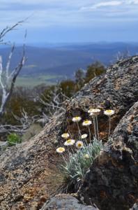 Alpine Sunray (Leucochrysum alpinum)