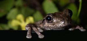 Perons' Tree Frog Photo credit D Paul ©  Museum Victoria