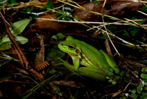 Green and Golden Bell Frog Photo credit D Paul ©  Museum Vic
