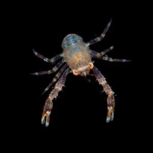 micro Crayfish Photo credit D Paul ©  Museum Victoria