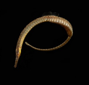 Pipe Fish Photo credit D Paul ©  Museum Victoria