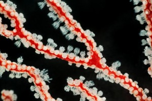 Octocoral polyps