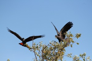 Red-tailed black cockatoos, Humbert River