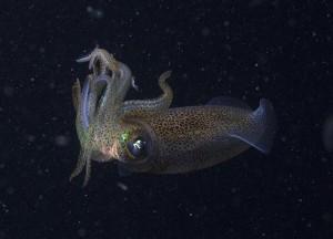 Calamari squid copyright M. Norman