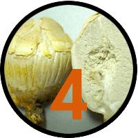 4 new fungi species