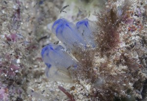 sea squirt copyright M. Norman
