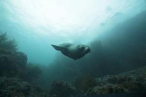 seal at Gabo Island copyright M.man